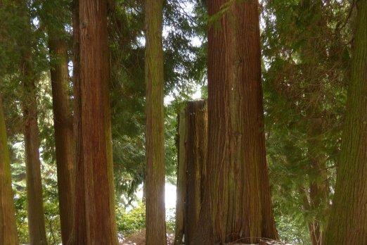 Riesenlebensbaum